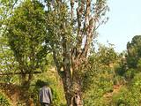 保山市将设古茶树资源产品档案库保护生物资源