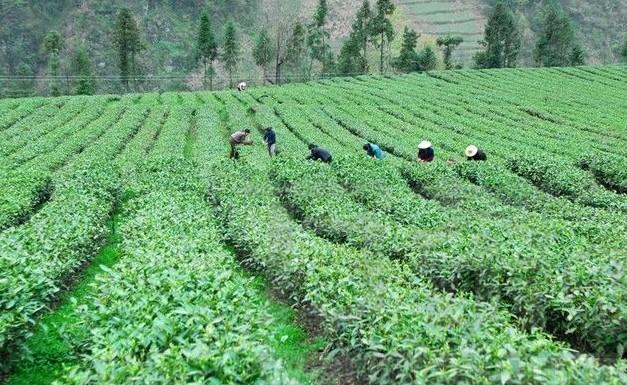 松溪茶平乡采用无性扦插技术繁育茶苗