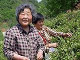 桐柏县成功培育出6个名优茶品种