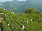 苍梧县各大六堡茶园陆续开始采摘第一波春茶