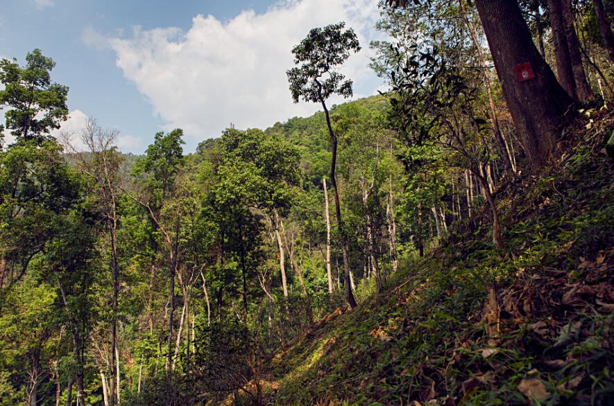 【易武茶之旅】route 2 弯弓徒步线路,茶山里的绿野仙踪图片