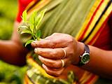 斯里兰卡:倔强的红茶