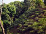 【易武茶之旅】Route 2  弯弓徒步线路,茶山里的绿野仙踪