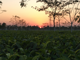 猴子、大象、茶庄园,看茶语网铁粉为你还原一个最真实的阿萨姆