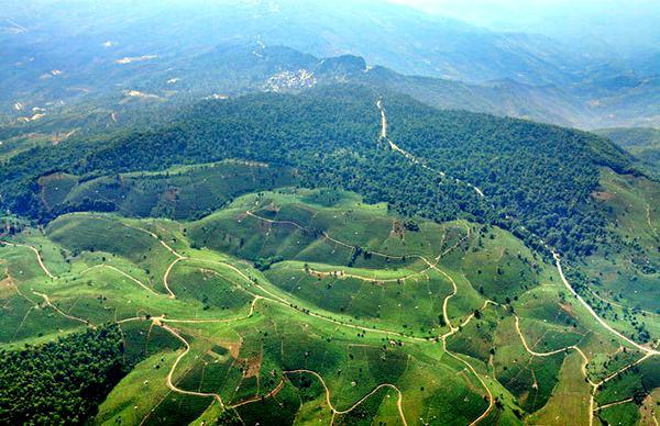 面积最大的栽培型古茶园