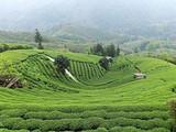 3月8日茶区播报:广西省柳州市三江侗族自治县
