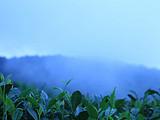 3月9日春茶播报:四川 蒙顶山