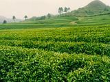 3月9日春茶播报:贵州省梵净山
