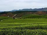 3月9日春茶播报:贵州省铜仁松桃茶区
