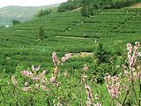 3月10日春茶播报:江苏省苏州市 洞庭西山岛