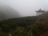3月12日春茶播报:广东省清远市 连山县禾洞镇高山茶区