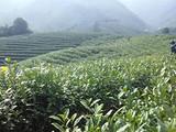 3月12日春茶播报:浙江省溪龙乡国家级安吉白茶示范园区