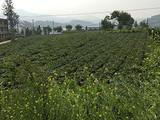 3月12日春茶播报:云南省临沧勐库西半山勐库镇大户赛村