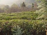 3月13日春茶播报:贵州省梵净山