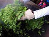 3月13日春茶播报:云南省西双版纳易武茶区