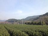 3月13日春茶播报:浙江省杭州市西湖区
