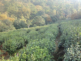 3月13日春茶播报:江苏省苏州市东山