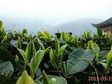 3月15日春茶播报: 湖南省古丈县红石林镇河南村青竹山