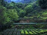 3月17日春茶播报:四川省蒙顶山