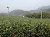 3月17日春茶播报:浙江省杭州市西湖区