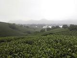 3月18日春茶播报:浙江省安吉县溪龙黄杜村