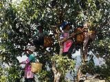 3月19日春茶播报:云南省临沧勐库西半山勐库镇大户赛村