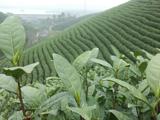 3月19日春茶播报:浙江省安吉县溪龙乡里岙山基地