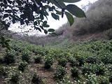 3月20日春茶播报:安徽省黄山市黄山区三口茶园