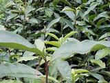 3月23日春茶播报:安徽省黄山市黄山区三口茶园