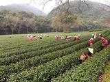 3月23日春茶播报:浙江省杭州市西湖区