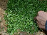 3月24日春茶播报:四川省蒙顶山蒙顶皇茶茶业有限责任公司茶园