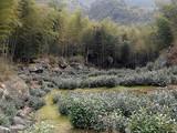3月24日春茶播报:安徽省黄山市黄山区三口茶园