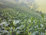 3月25日春茶播报:浙江省安吉县溪龙乡里岙山基地