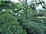 3月25日春茶播报:四川省蒙顶山蒙顶皇茶茶业有限责任公司茶园