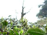 3月26日春茶播报:四川蒙顶山蒙顶皇茶茶业有限责任公司茶园基地