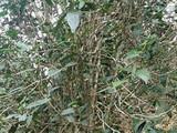 3月31日春茶播报:云南省西双版纳蛮砖