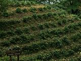 3月31日春茶播报:   四川省蒙顶山蒙顶皇茶茶业有限责任公司茶园基地