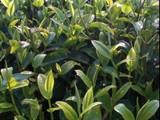 4月1日春茶播报:云南省西双版纳帕莎老寨
