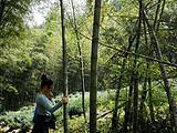 4月2日春茶播报:安徽省黄山市黄山区新明乡猴坑茶园