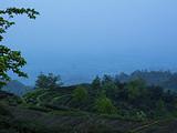 4月2日春茶播报:四川省蒙顶山蒙顶皇茶茶业有限责任公司茶园基地