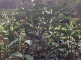 4月4日春茶播报:安徽省黄山市黄山区新明乡猴岗茶园