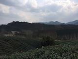 4月3日春茶播报:河南省信阳市浉河港乡黑龙潭村