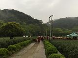 4月6日春茶播报:浙江省杭州市西湖区