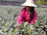 4月8日春茶播报:浙江省杭州市西湖区