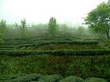 4月10日春茶播报:四川省蒙顶山蒙顶皇茶茶业有限责任公司茶园基地