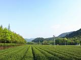 4月16日春茶播报:浙江省杭州市西湖区