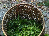 你望穿秋水的普洱春茶采摘实况:冰岛小树开采、班盆大树少量开采、麻黑大树大量开采……