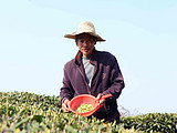 这或许是福鼎白茶今年最糟糕的一天!(茶青市场交易人数仅有去年的1/4)