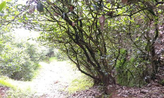 竹窠老枞水仙