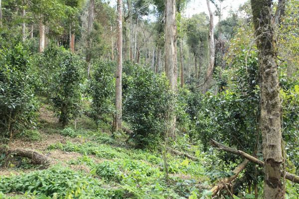 茶树,同庆河